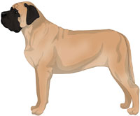 Apricot with Black Mask Mastiff
