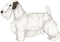 White with Badger Markings Sealyham Terrier
