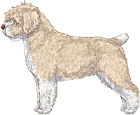 Beige & White w/Brown Nose Spanish Water Dog