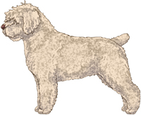 Beige w/Brown Nose Spanish Water Dog