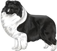 Bi-Black Shetland Sheepdog