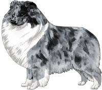 Bi-Blue Shetland Sheepdog