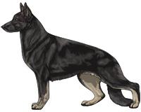 Bicolor Black and Cream German Shepherd Dog