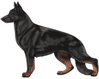 Bicolor Black and Red German Shepherd Dog
