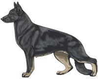 Bicolor Blue and Cream German Shepherd Dog