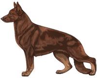 Bicolor Liver and Tan German Shepherd Dog
