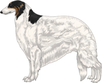 Black & Brindle with Extreme White Piebald Borzoi