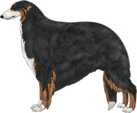 Black & Brindle with White Irish Markings Borzoi