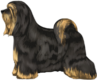 Black and Gold Tibetan Terrier