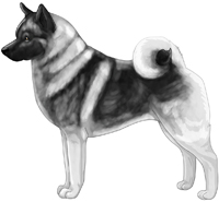 Black and Silver Norwegian Elkhound