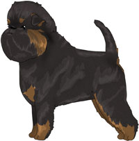 Black and Tan Affenpinscher