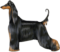 Black & Tan Afghan Hound
