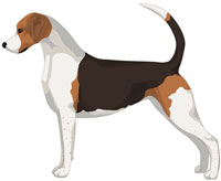 Black White and Tan English Foxhound