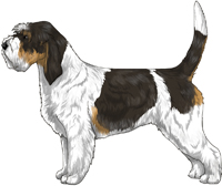 White Black & Tan Grand Basset Griffon Vendéen
