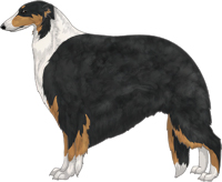 Black & Tan with White Irish Markings Borzoi