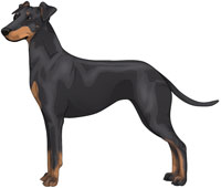 Black & Tan Manchester Terrier