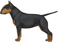Black & Tan Miniature Bull Terrier