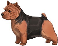 Black and tan Norwich Terrier