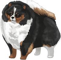 Black & Tan Parti  Pomeranian