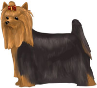 Black and Tan Yorkshire Terrier