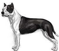 Black and White American Staffordshire Terrier