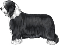 Black and White Bearded Collie