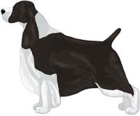 Black & White English Springer Spaniel
