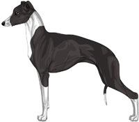 Black and White Italian Greyhound