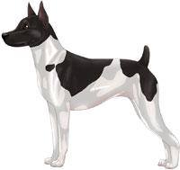 Black & White Rat Terrier