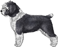 Black & White Spanish Water Dog