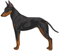 Black and Tan Manchester Toy Terrier