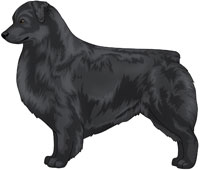 Black Australian Shepherd