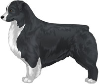 Black Bi Australian Shepherd