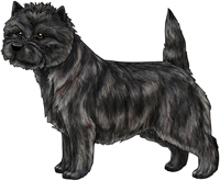 Black Brindle Cairn Terrier