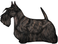 Black Brindle Scottish Terrier