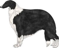 Black with White Irish Markings Borzoi