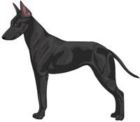 Black Manchester Toy Terrier
