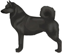 Black Norwegian Buhund