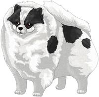 Black Parti  Pomeranian