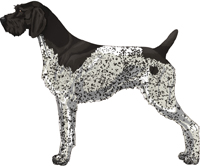 Black and White - Patched and Ticked German Wirehaired Pointer