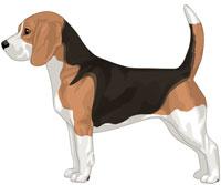 Black Red & White Beagle
