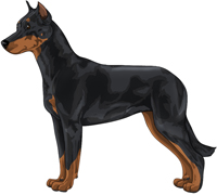 Black and Rust Beauceron