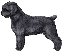 Black Spanish Water Dog