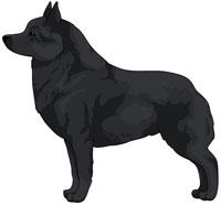 Black Schipperke