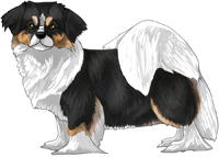 Black, Tan, & White Tibetan Spaniel