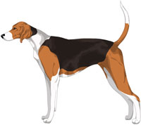 Black White and Tan American Foxhound