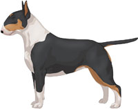 Black Tan & White Bull Terrier