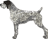 Black and White - Ticked German Wirehaired Pointer