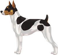 Black Tri Rat Terrier
