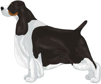 Black Tricolor English Springer Spaniel